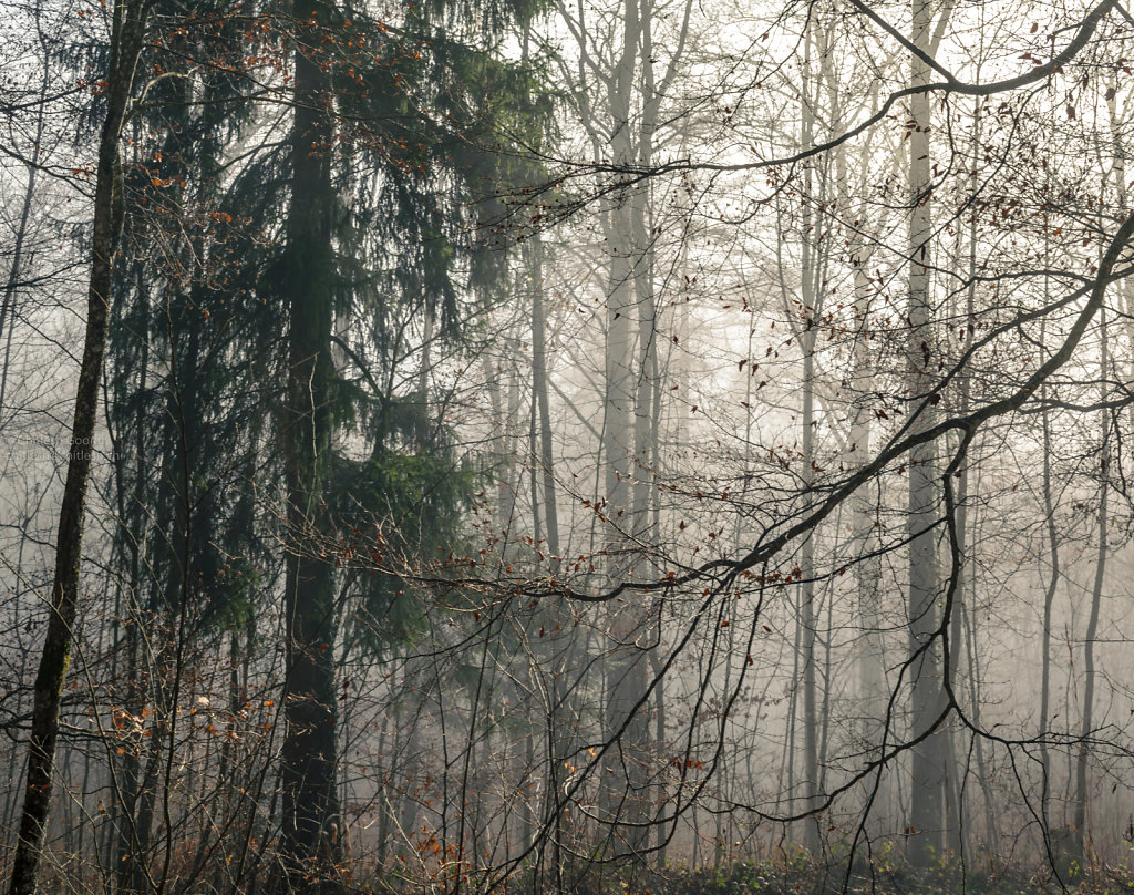 Mist is taking over the forest