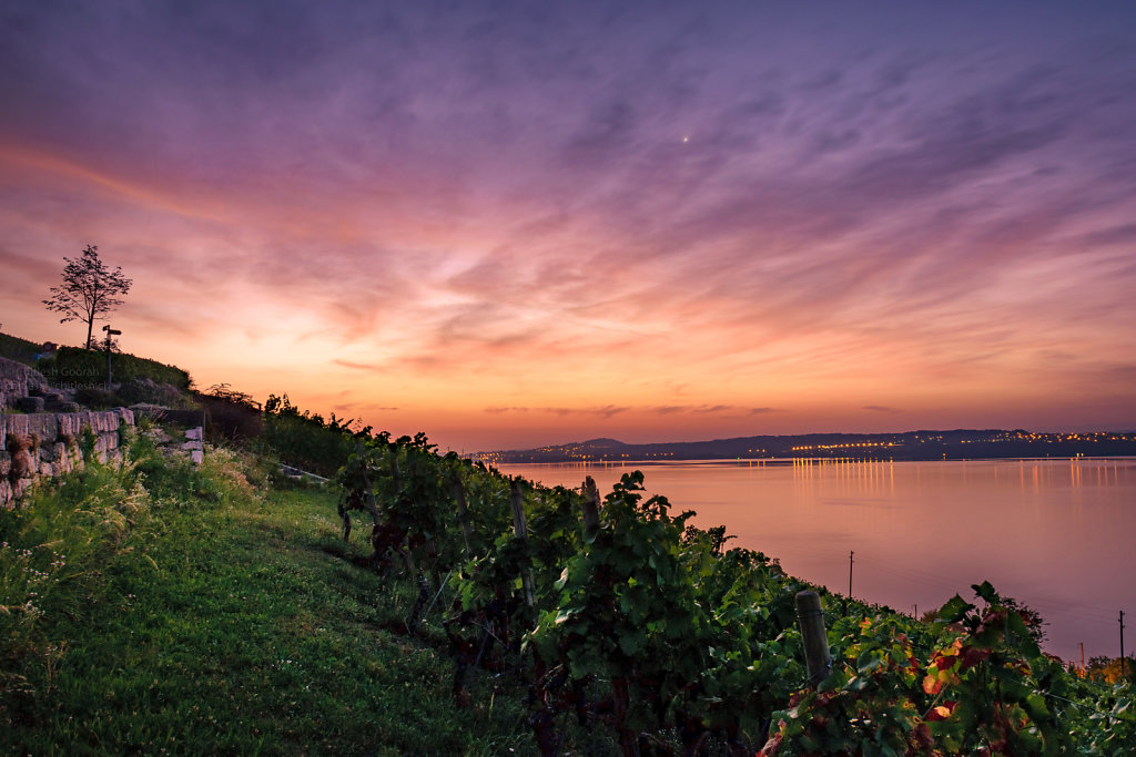 Sunset view on vines and Lake Biel